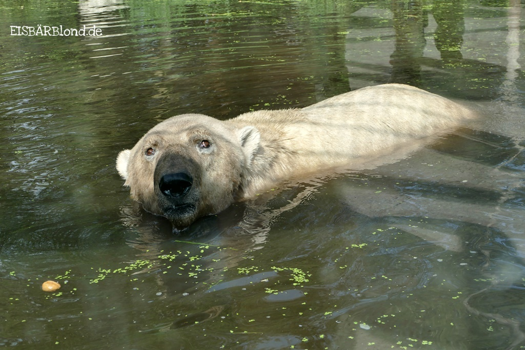 Eisbär Felix im Wasser - AquaZoo Friesland NL - September 2018