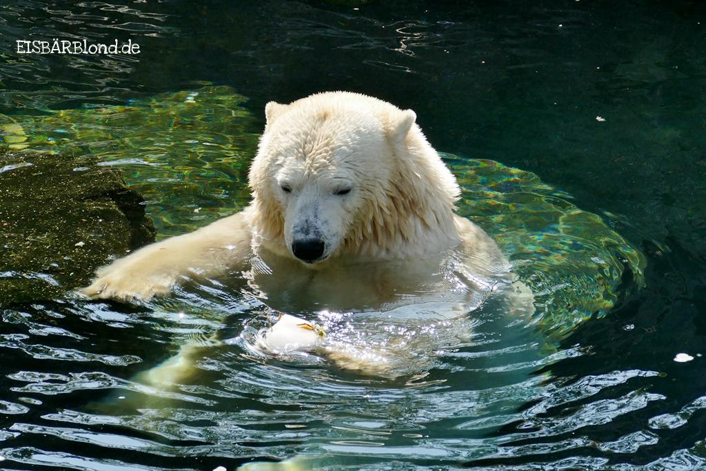 Eisbär MILANA ais dem Erlebnis-Zoo Hannover im Wasser mit einer leckeren Eisbombe