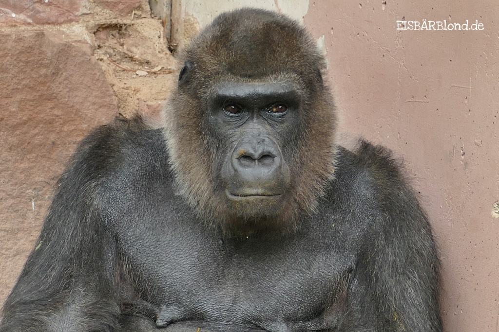Leb' wohl liebe Gorilladame BIANKA - Tiergarten Nürnberg - Sommer 2018