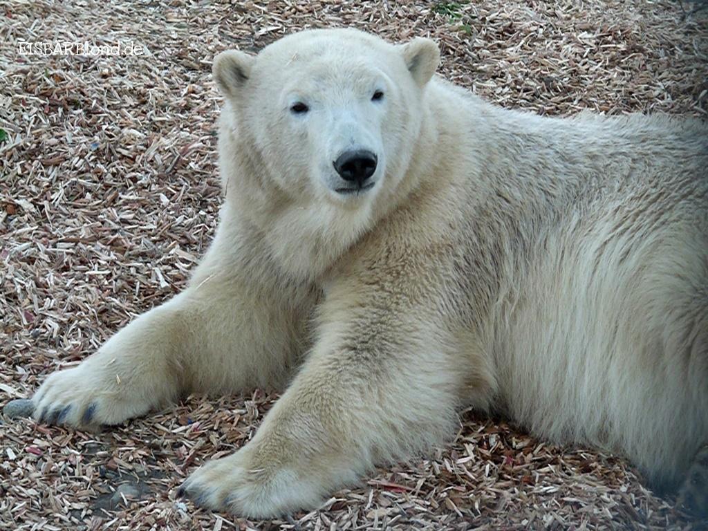 Eisbären-Geburtstag - Flocke - Marineland/Antibes - 12.12.2010