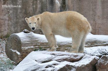 Waldweihnacht - Eisbärin Charlotte im Schnee - Tiergarten Nürnberg - 12/2018
