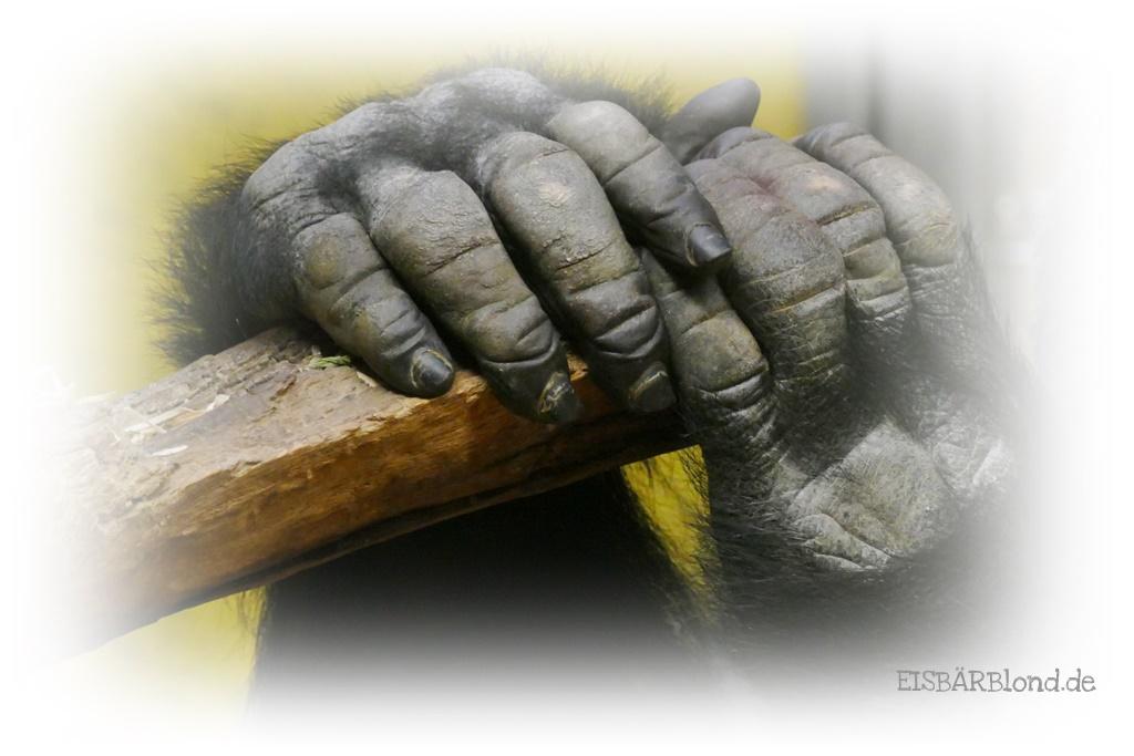 Tierischer Mischmasch - Gorilla Thomas seine Hände - Tiergarten Nürnberg - 05.12.2018