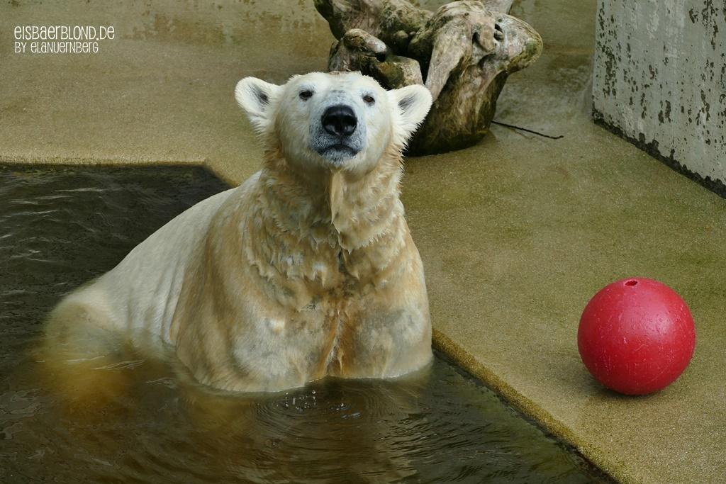 Eisbär ANORI - Zoo Wuppertal - 06.04.2019