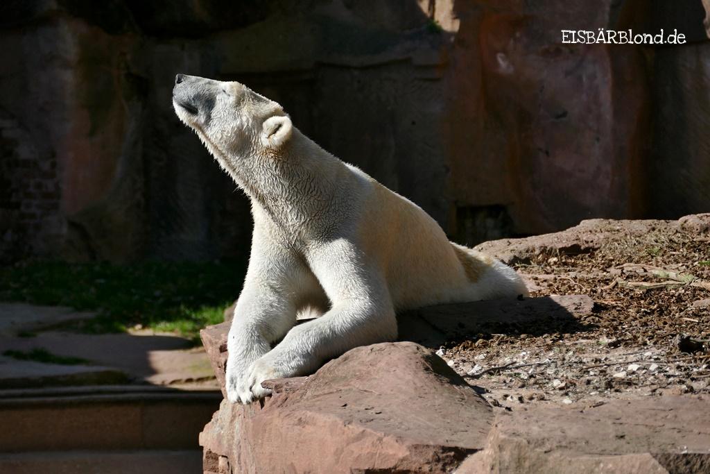 Bewegliche Momente - Eisbär CHARLOTTE - Tiergarten Nürnberg - 22.03.32019