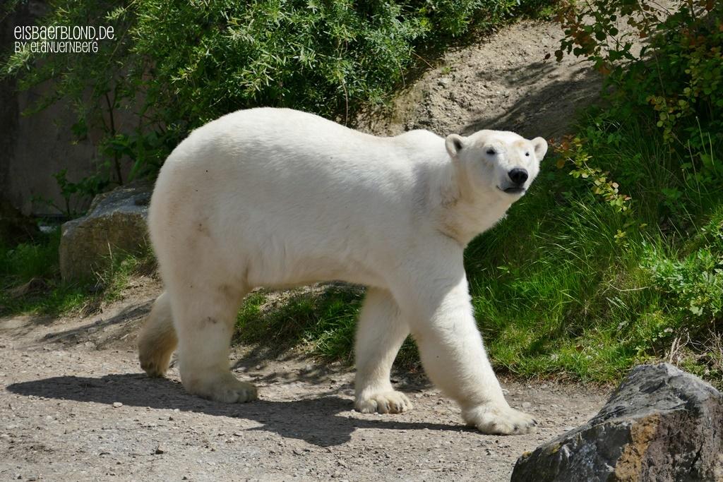 In Bewegung - Eisbär CHARLOTTE - Erlebnis-Zoo Hannover - 14.05.2019 - III