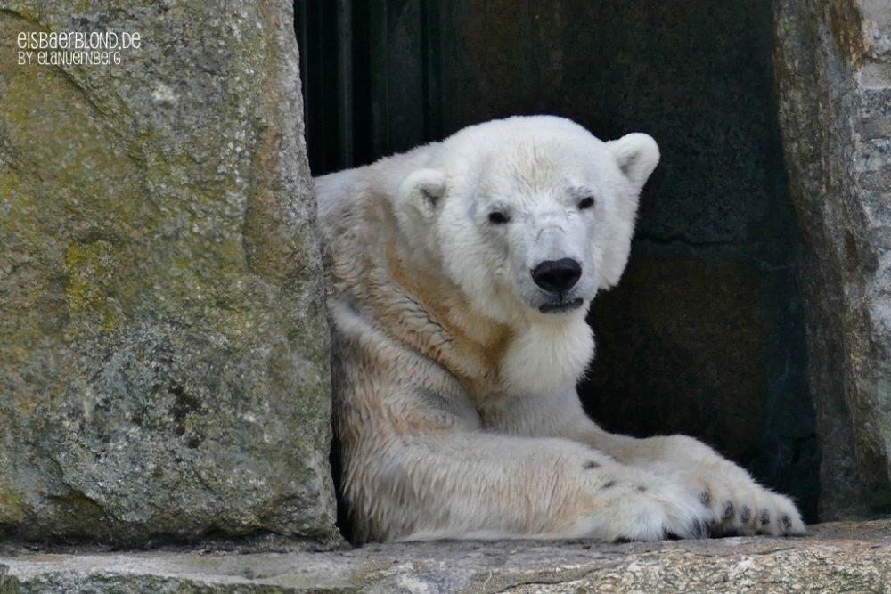 Eisbär KATJUSCHA - Zoo Berlin - 07.05.2019 - II