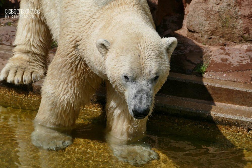 Eisbär Nanuq im Wasser - Tiergarten Nürnberg