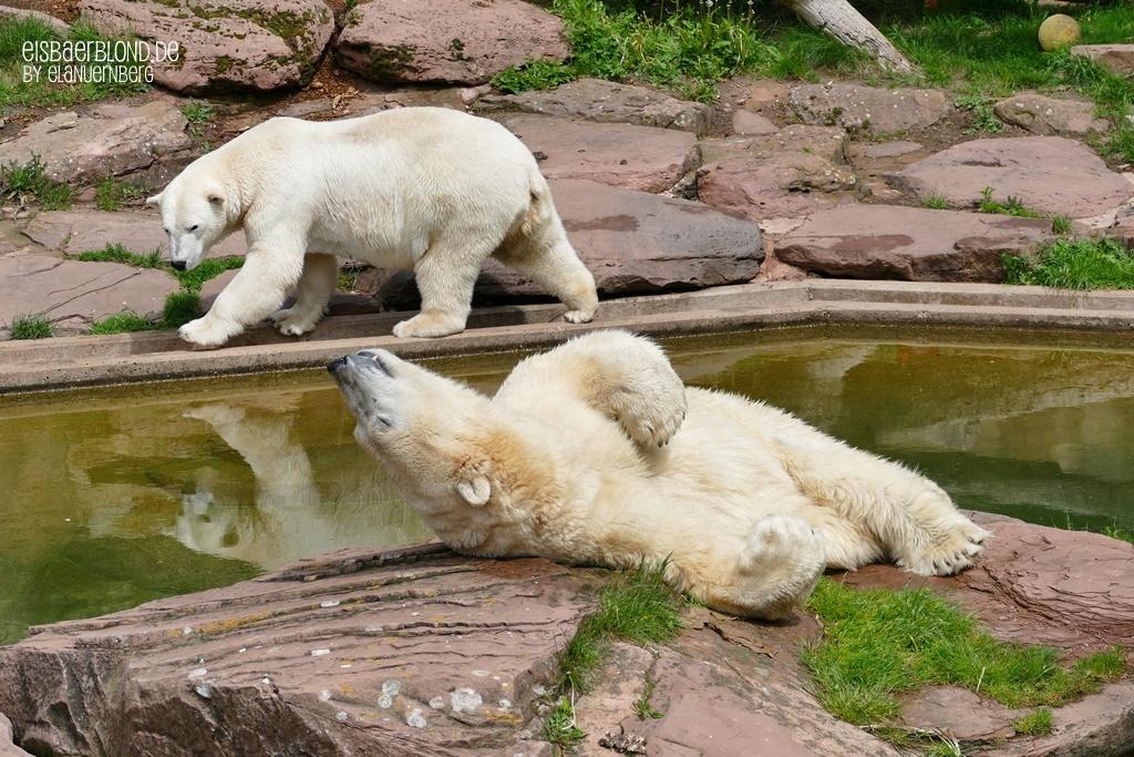 Eisbär Vera schaut zu Eisbär Nanuq auf die Insel