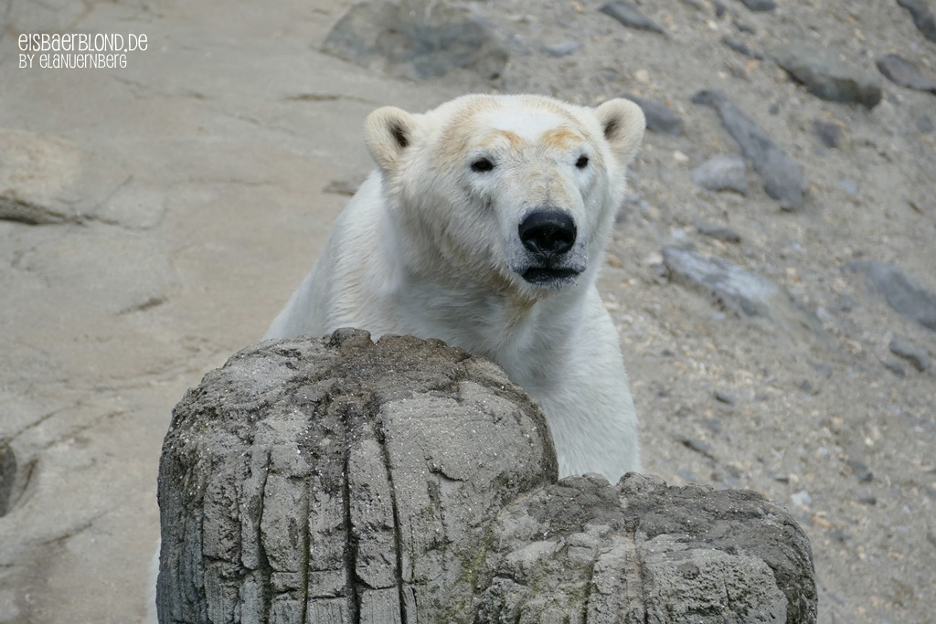 Am Steg - Eisbär CHARLOTTE - Erlebnis-Zoo Hannover -14.05.2019 - 2