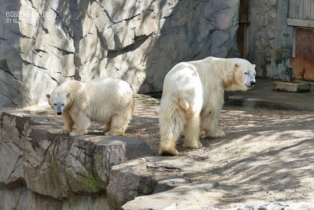 Eisbär MILANA + Eisbär SPRINTER - Erlebnis-Zoo Hannover - 14.05.2019 - 1