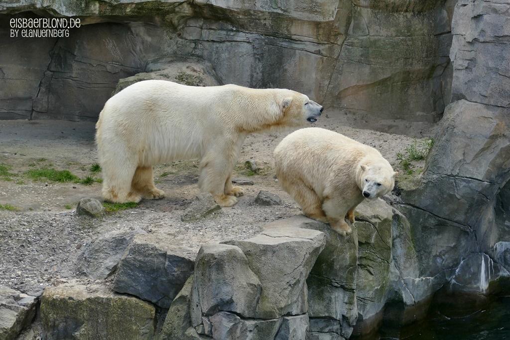 Eisbär MILANA + Eisbär SPRINTER - Erlebnis-Zoo Hannover - 14.05.2019 - 2