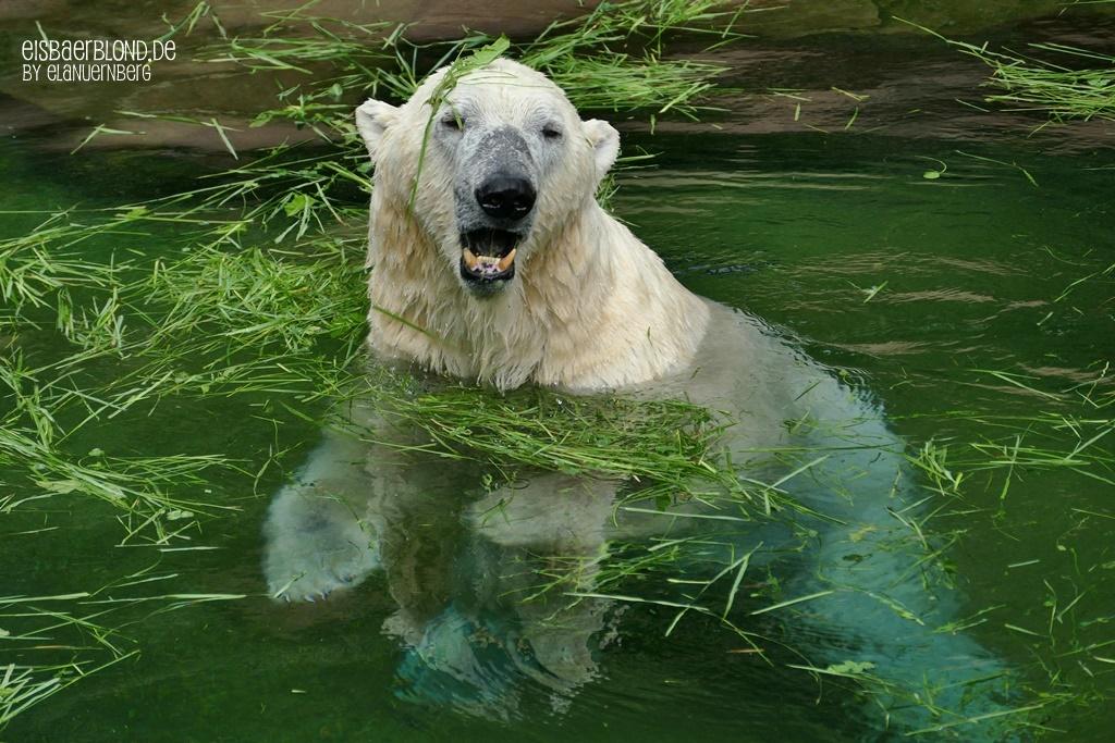 Gras macht Spaß - Eisbär NANUQ - Tiergarten Nürnberg - 12.06.2019