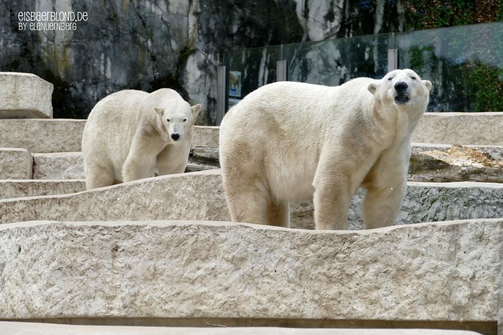 Eisbär NIKA + Eisbär KAP - Zoo Karlsruhe - 28.05.2019 - 1