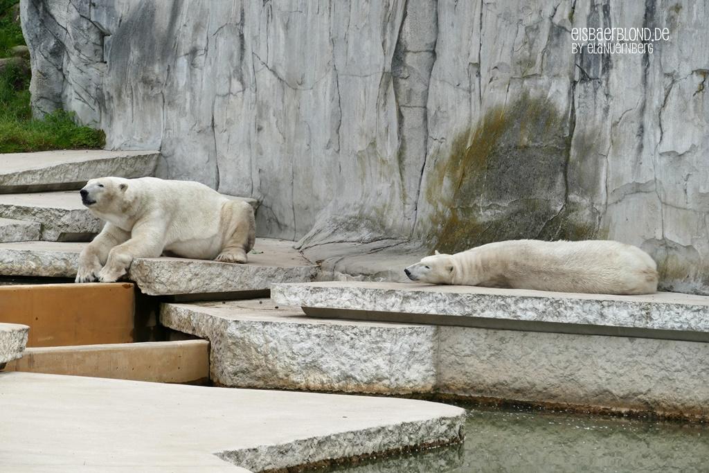 Eisbär NIKA + Eisbär KAP - Zoo Karlsruhe - 28.05.2019 - 2