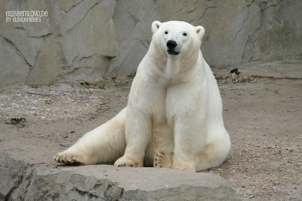 Eisbär CHARLOTTE - Zoo Hannover - 02.07.2019 - 2