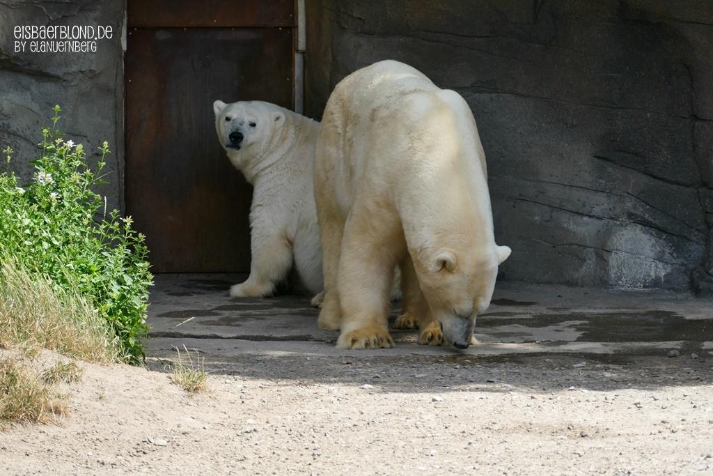 Eisbär MILANA + Eisbär SPRINTER - Zoo Hannover - 02.07.2019 - 2