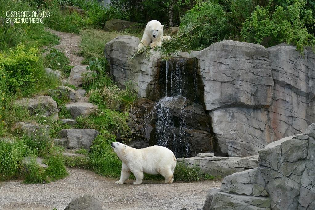 Eisbär MILANA + Eisbär SPRINTER - Zoo Hannover - 02.07.2019 - 3