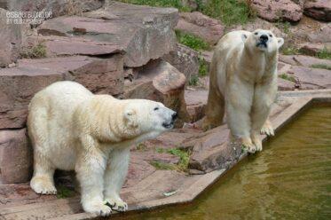 Handcrafting for Polar bears - Eisbär VERA + Eisbär NANUQ - Tiergarten Nürnberg - 18.07.2019