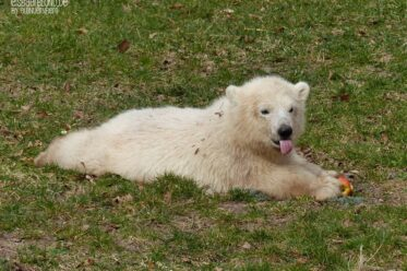 Aus der Eisbären-Truhe - Eisbär CHARLOTTE - Tiergarten Nürnberg - 25.03.2019