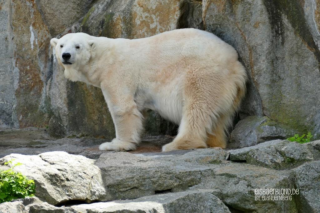 BÄRiges Sommerkino - Eisbär KATJUSCHA - Zoo Berlin - 07.05.2019