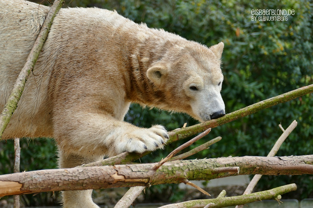 BÄRiges Sommerkino - Eisbärin ANORI - Zoo Wuppertal - 06.04.2019