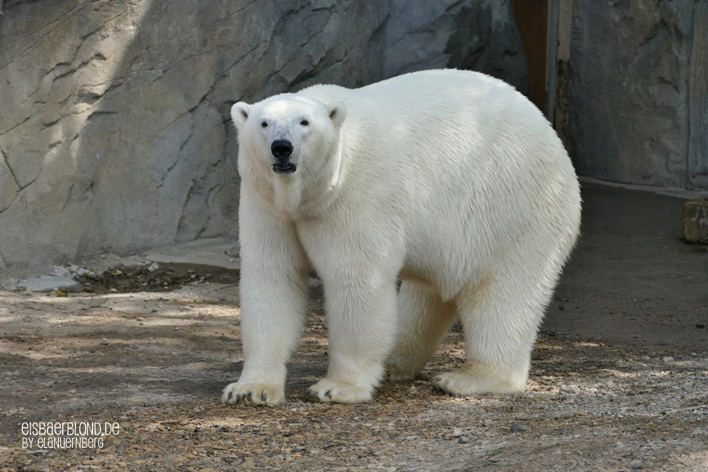 BÄRiges Sommerkino - Eisbär CHARLOTTE- Erlebnis-Zoo Hannover - 02.07.2019 - II