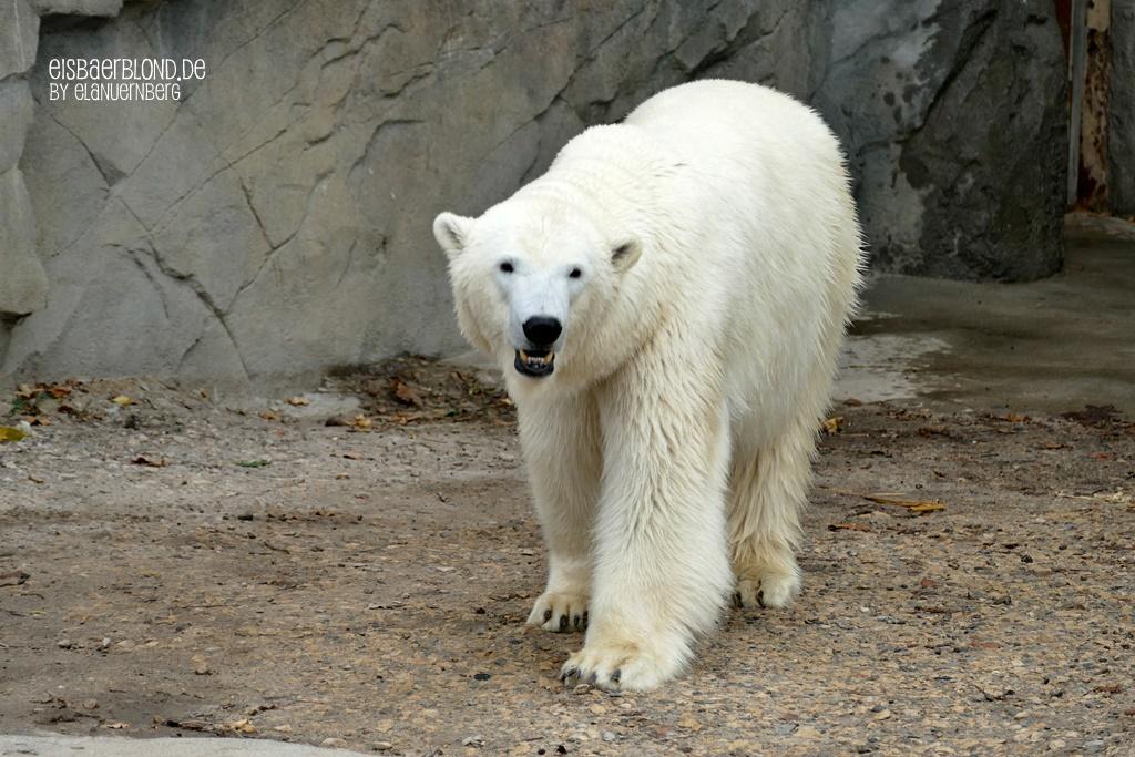 WIR-Anpfiff - Eisbär CHARLOTTE - Erlebnis-Zoo Hannover - 03.09.2019 - II