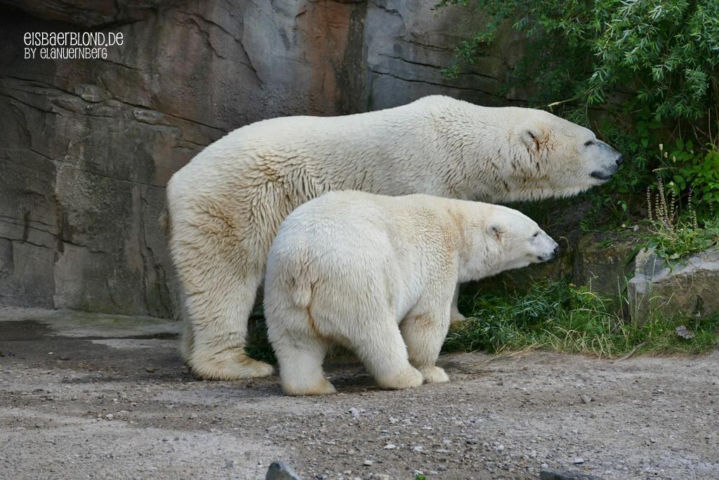 BÄRiges Sommerkino - Eisbär MILANA + Eisbär SPRINTER - Erlebnis-Zoo Hannover - 02.07.2019 -II
