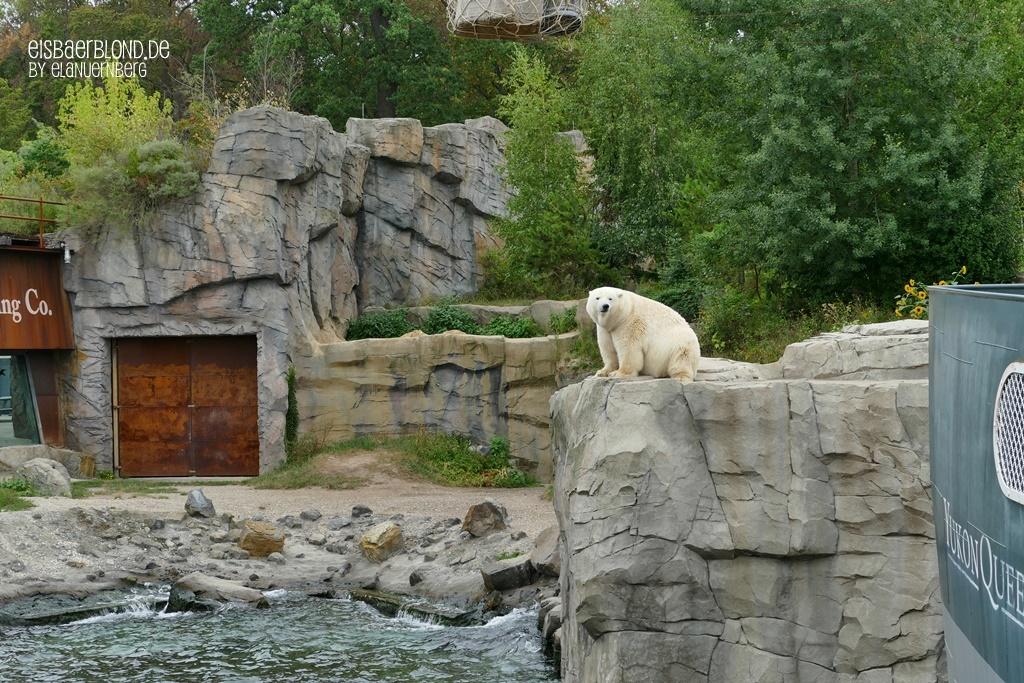 Eisbär MILANA + Eisbär SPRINTER - Erlebnis-Zoo Hannover - 03.09.2019