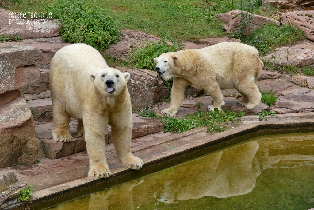 Ein Phantom - Eisbär VERA + Eisbär NANUQ - Tiergarten Nürnberg - 24.09.2019