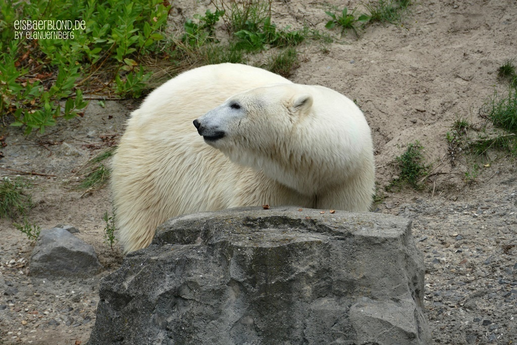 Eisbärin CHARLOTTE - Erlebnis-Zoo Hannover - 03.09.2019