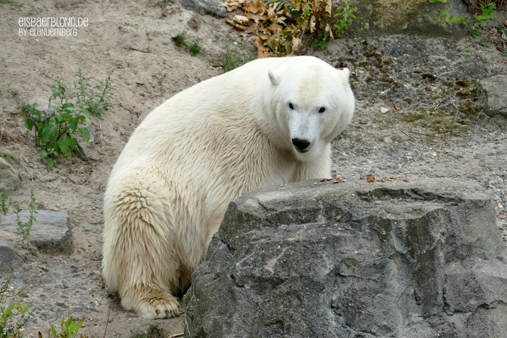 Eisbär CHARLOTTE - Erlebnis-Zoo Hannover - 03.09.2019