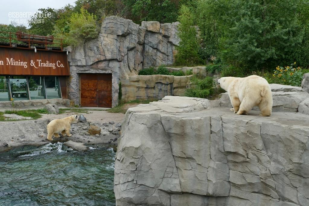 Eisbär MILANA + Eisbär SPRINTER - Erlebnis-Zoo Hannover - 03.09.2019 - II
