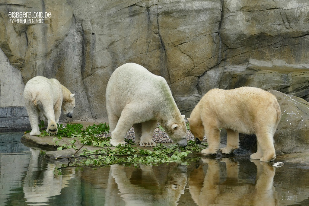 Eisbär NORIA + Eisbär SIZZEL + Eisbär AKIAK - Zoo Rostock - 08.10.2019 - 1