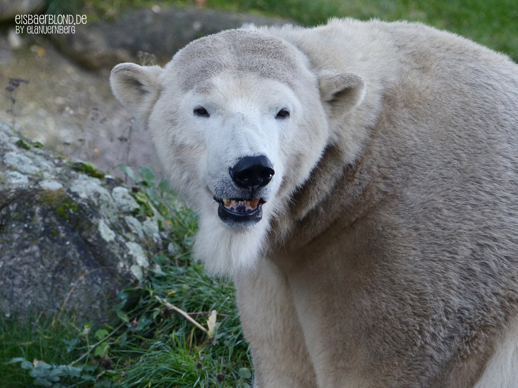 Leb wohl liebe Eisbärin Nika! - Zoo Karlsruhe - 05.10.2017