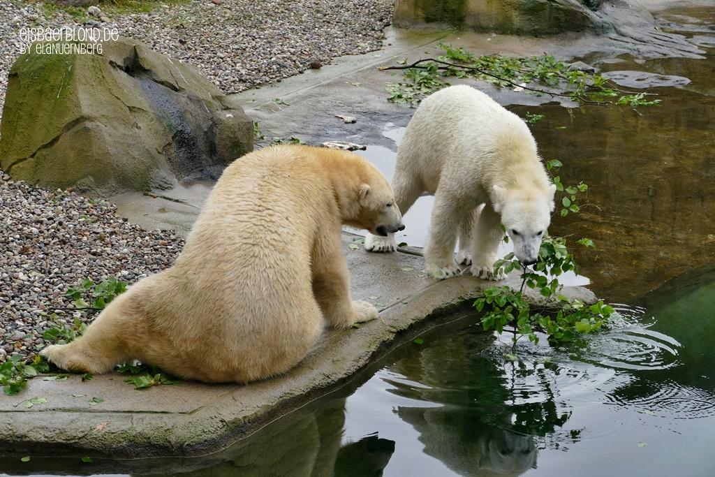 Eisbär NORIA + Eisbär SIZZEL - Zoo Rostock - 08.10.2019