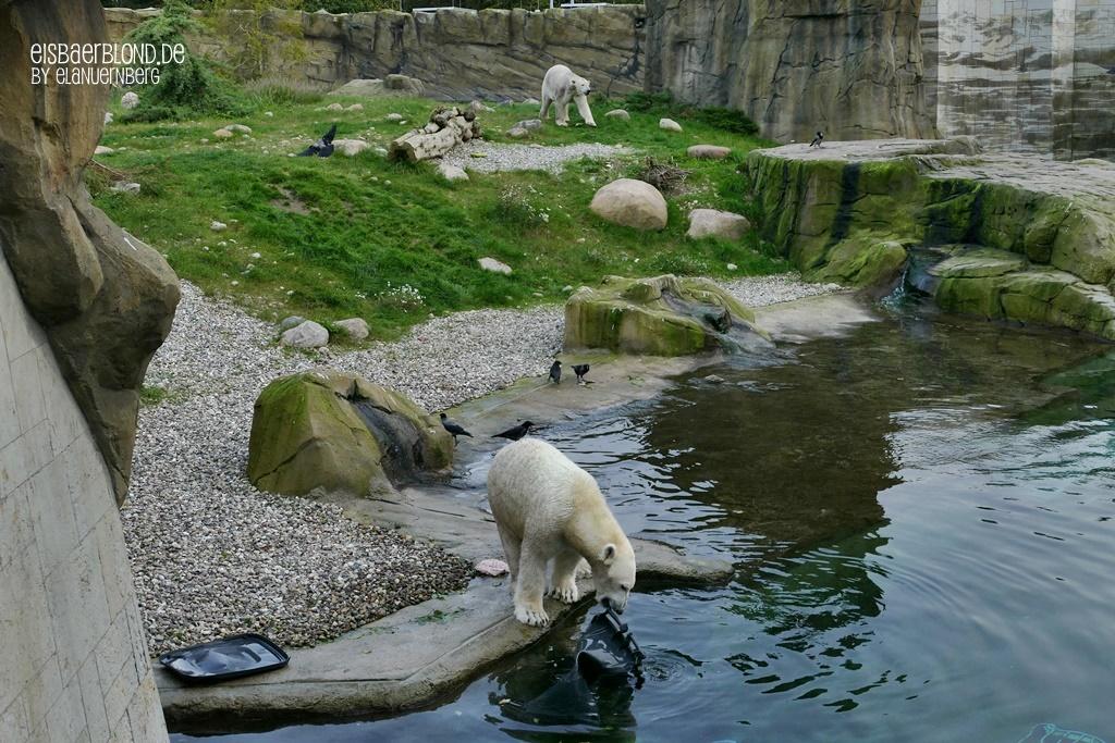 Eisbär AKIAK + Eisbär NORIA - Zoo Rostock - 09.10.2019 - 3