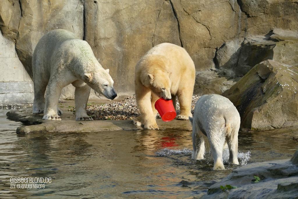 Eisbär AKIAK - Eisbär SIZZEL - Eisbär NORIA - Zoo Rostock - 09.10.2019 - 1