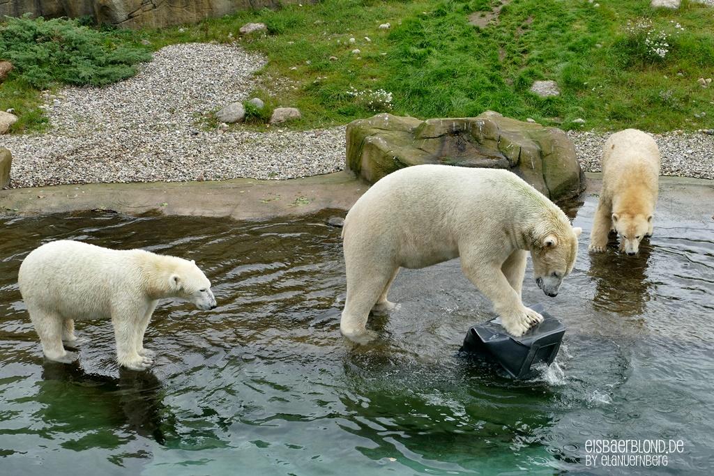 Eisbären Akiak, Noria und Sizzel aus dem Zoo Rostock - 09.10.2019 - 2