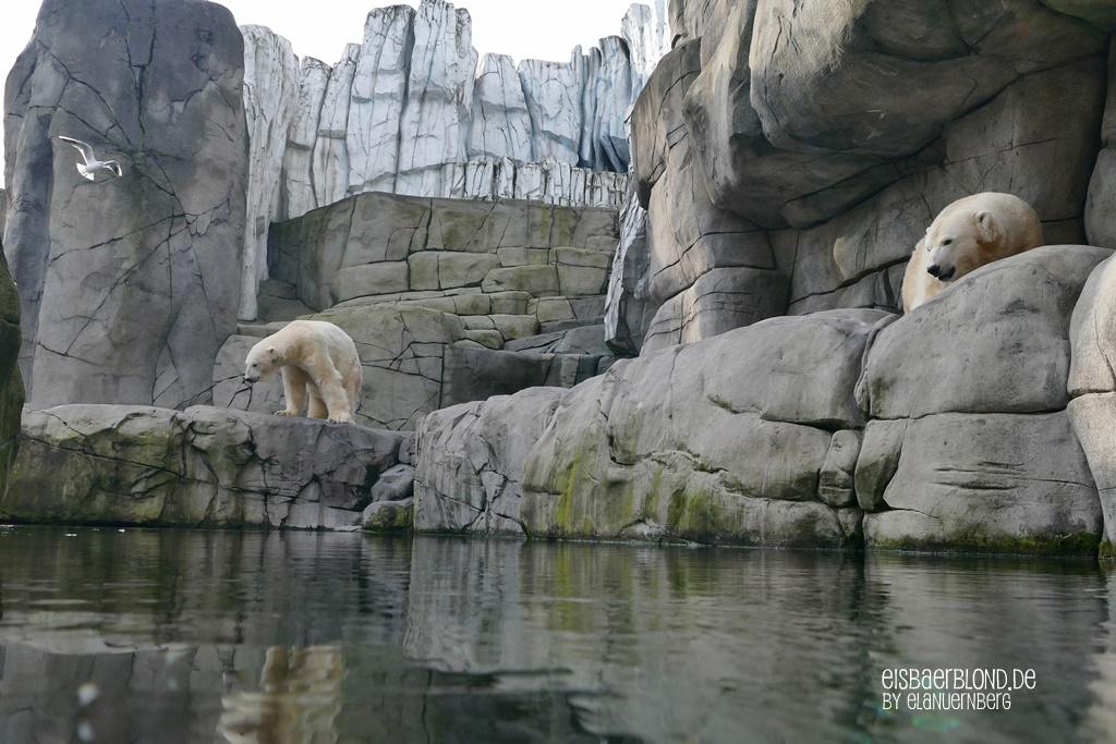 Eisbär BLIZZARD + Eisbär VIKTORIA - Tierpark Hagenbeck - 10.10.2019