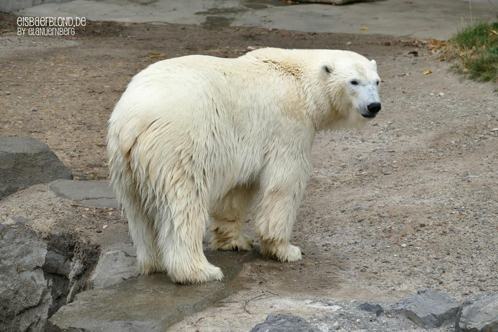 BÄRiges Winterkino - Eisbär CHARLOTTE - Erlebnis-Zoo Hannover - 03.09.2019