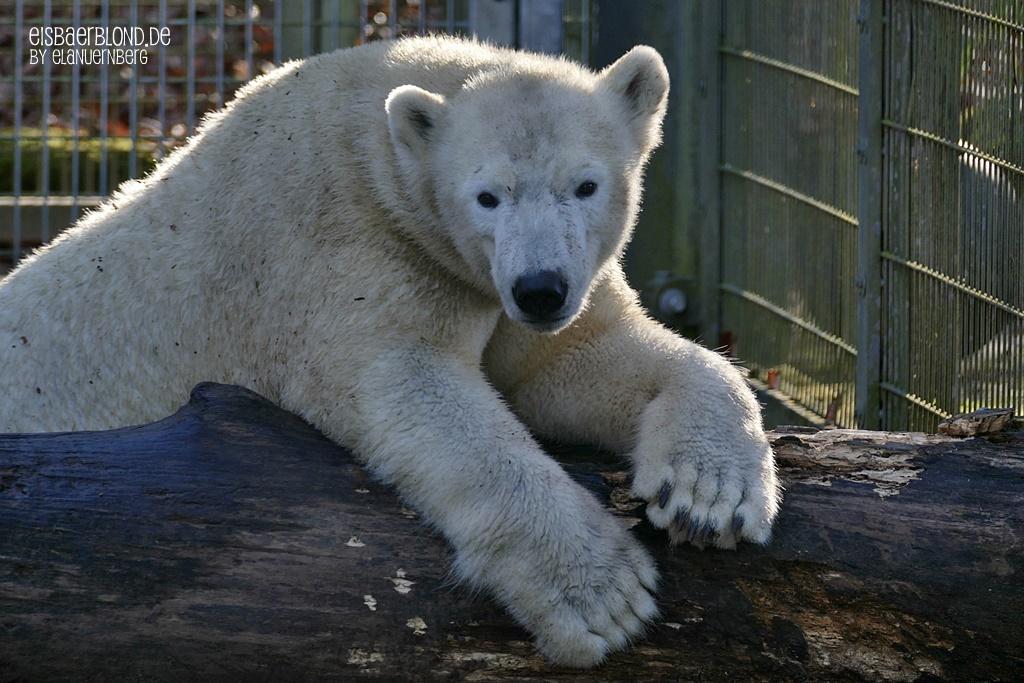 Bei den Eisbären Giovanna und Quintana im TP Hellabrunn München - 01-2020