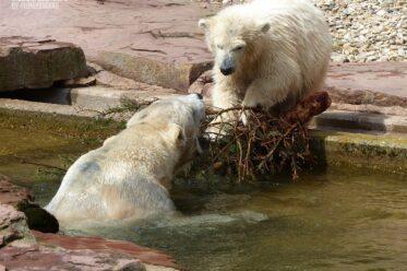 Aus der Eisbären-Truhe - Eisbär VERA + Eisbär CHARLOTTE - Tiergarten Nürnberg - 29.04.2015
