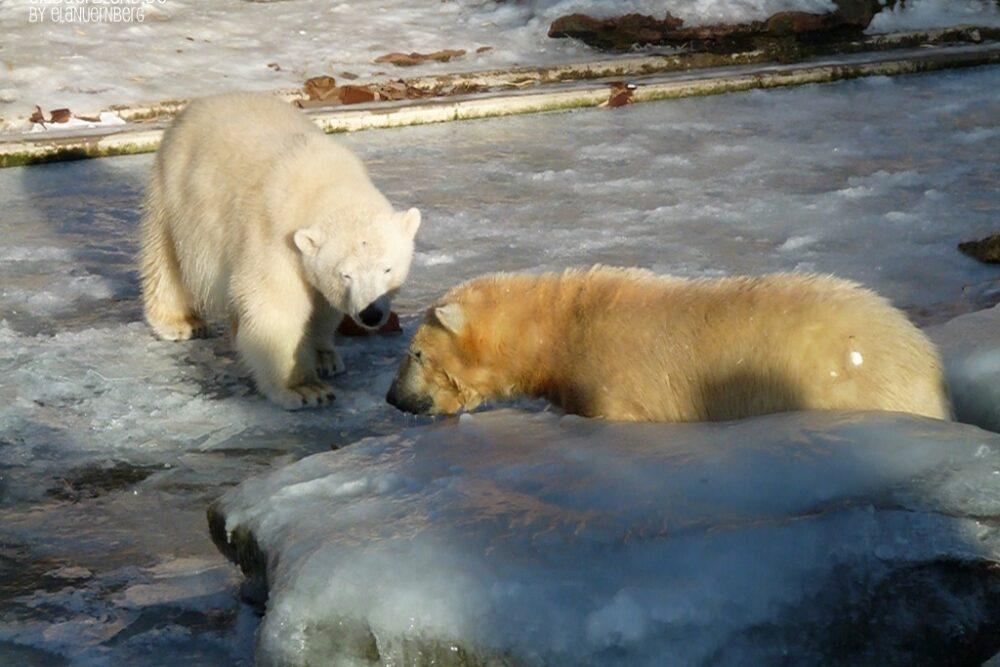 Kleine Eisbärengalerie - Eisbär Flocke + Eisbär Rasputin - Tiergarten Nürnberg - 13.01.2009
