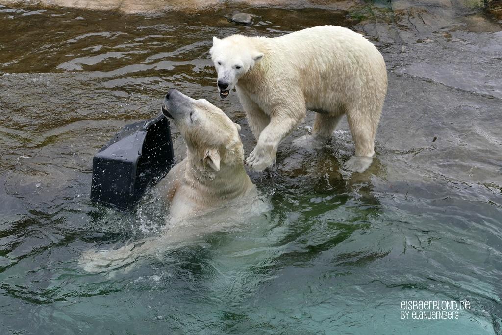 BÄRiges Winterkino - Eisbär AKIAK + EISBÄR NORIA - Zoo Rostock - 08.10.2019 - 1