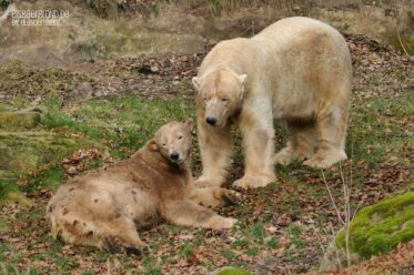 Laub-Bär - Eisbär VERA + Eisbär NANUQ - Tiergarten Nürnberg - 30.01.2020