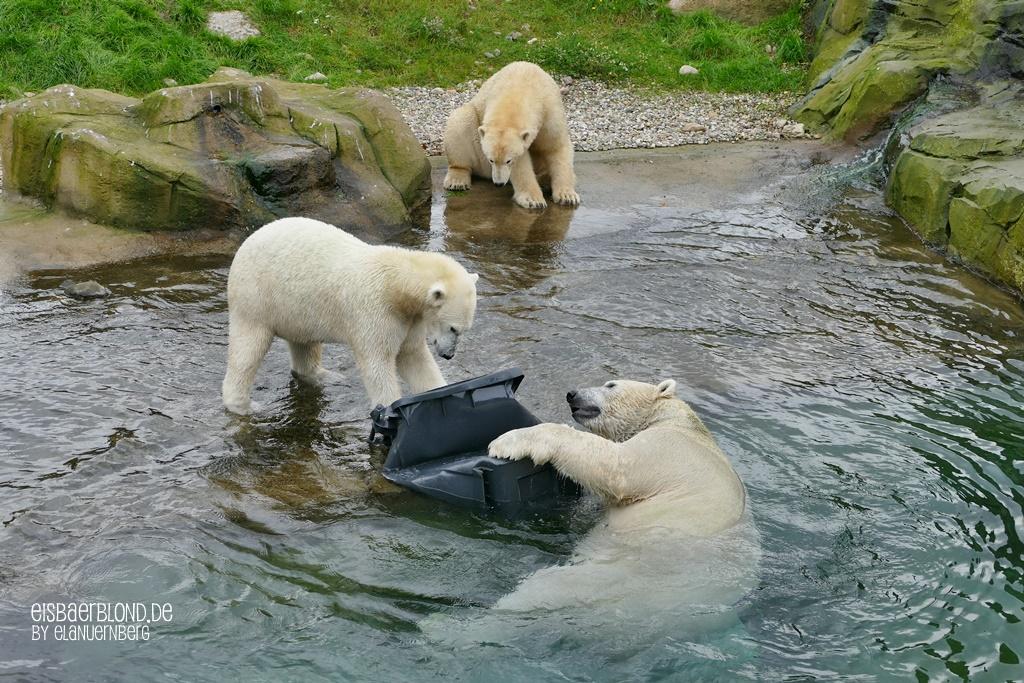 BÄRiges Frühlingskino - Eisbär AKIAK + Eisbär NORIA - Eisbär SIZZEL - Zoo Rostock - 09.10.19 - 2