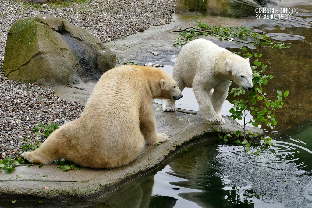 BÄRiges Winterkino - Eisbär NORIA + Eisbär SIZZEL - Zoo Rostock - 08.10.2019 - 2