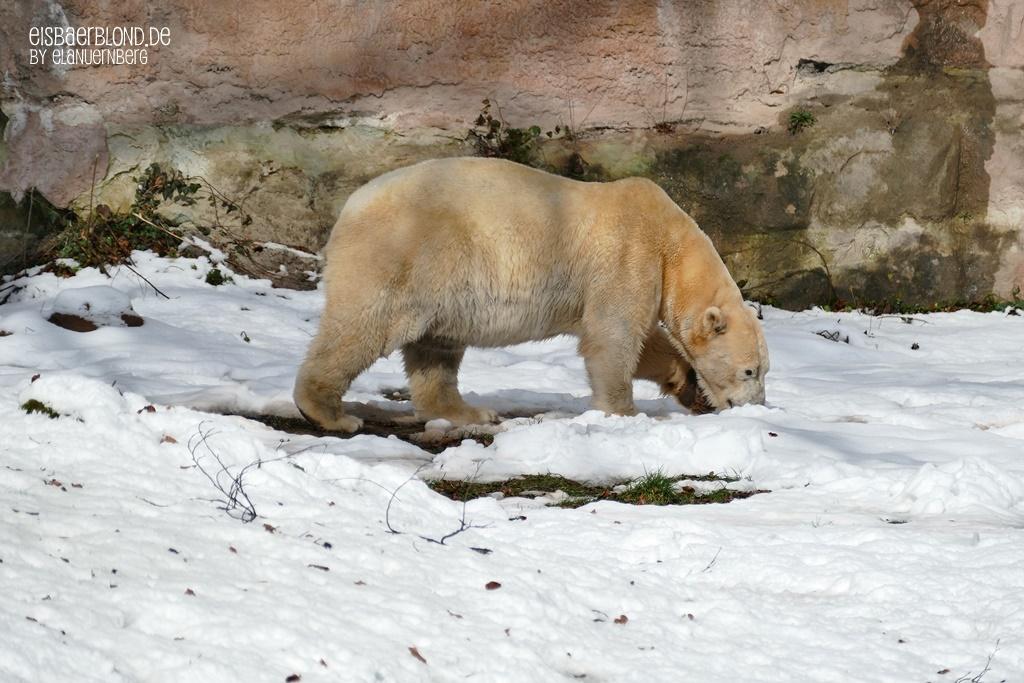 Abkühlung gefällig - Eisbär VERA - Tiergarten Nürnberg - 28.02.2020