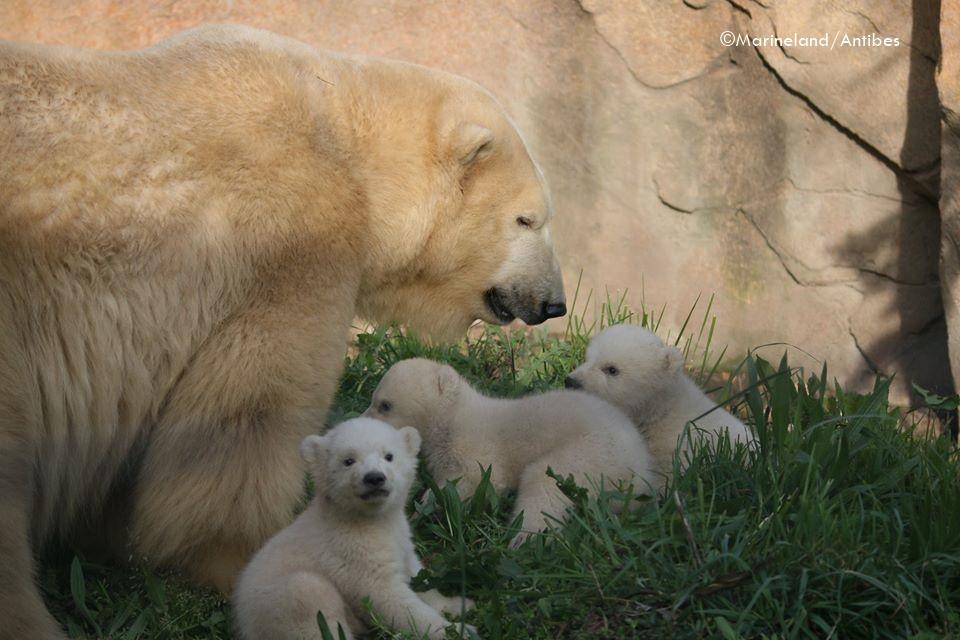 Pure Niedlichkeit - Eisbärin FLOCKE und ihr niedliches Eisbären-Trio - Marineland Antibes - 30.03.2020